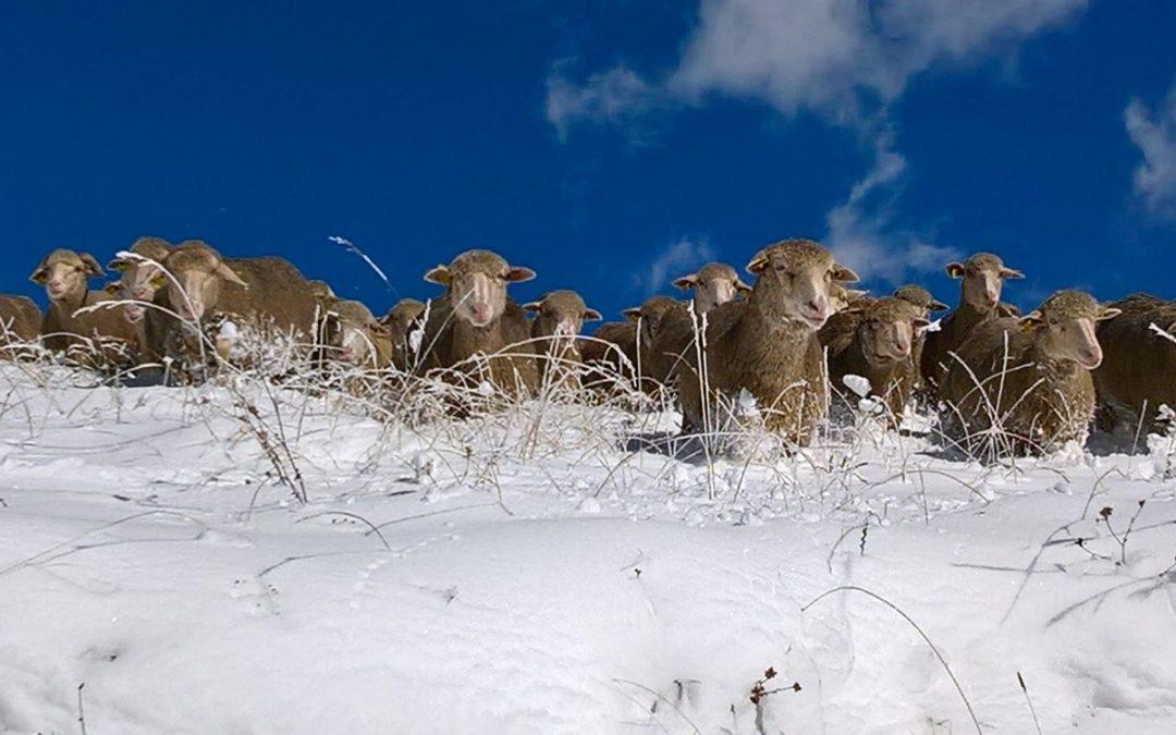 La neige est là ! Vite il faut descendre nos bêtes…