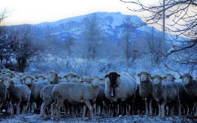 Transhumance hivernale